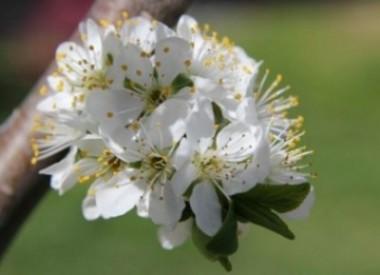 Prugno in fiore, CasaCucù