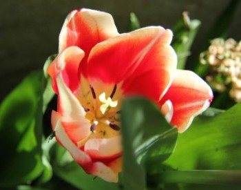 Tulipano, primavera 2015, CasaCucù